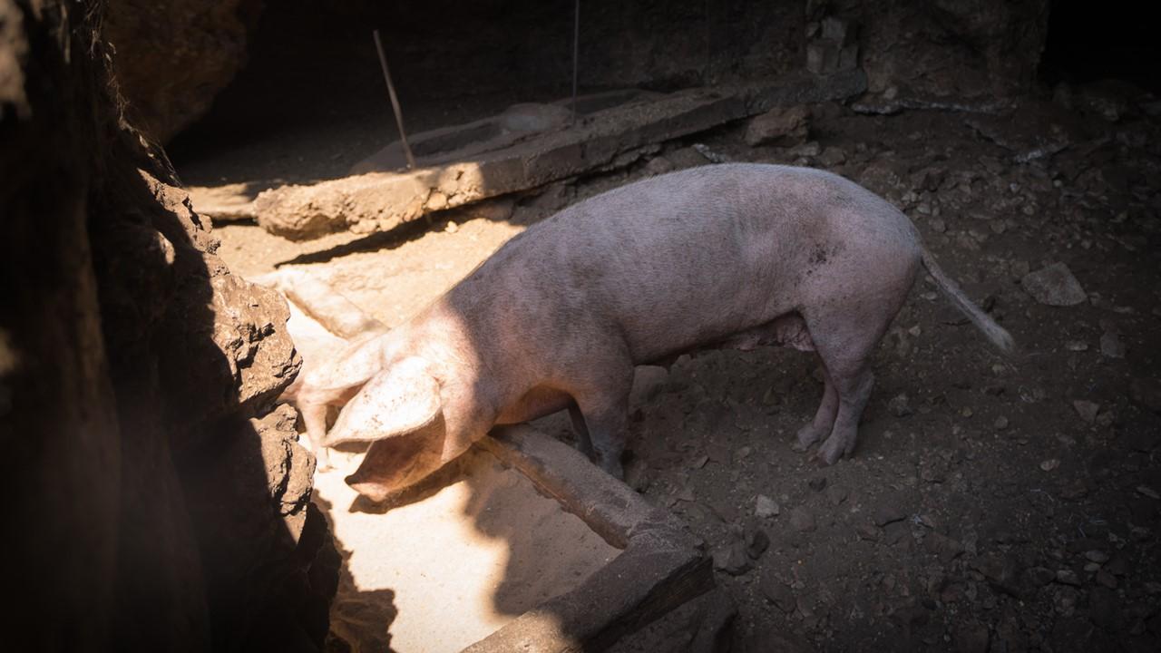 Папа-свин, держащий нейтралитет