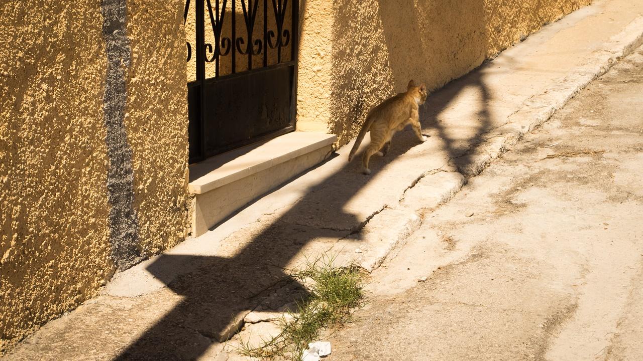 Ликсурийская кошка, гуляющая сама по себе