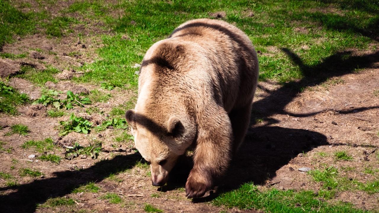 Пушистый медведь после кормежки в зоопарке Хельсинки