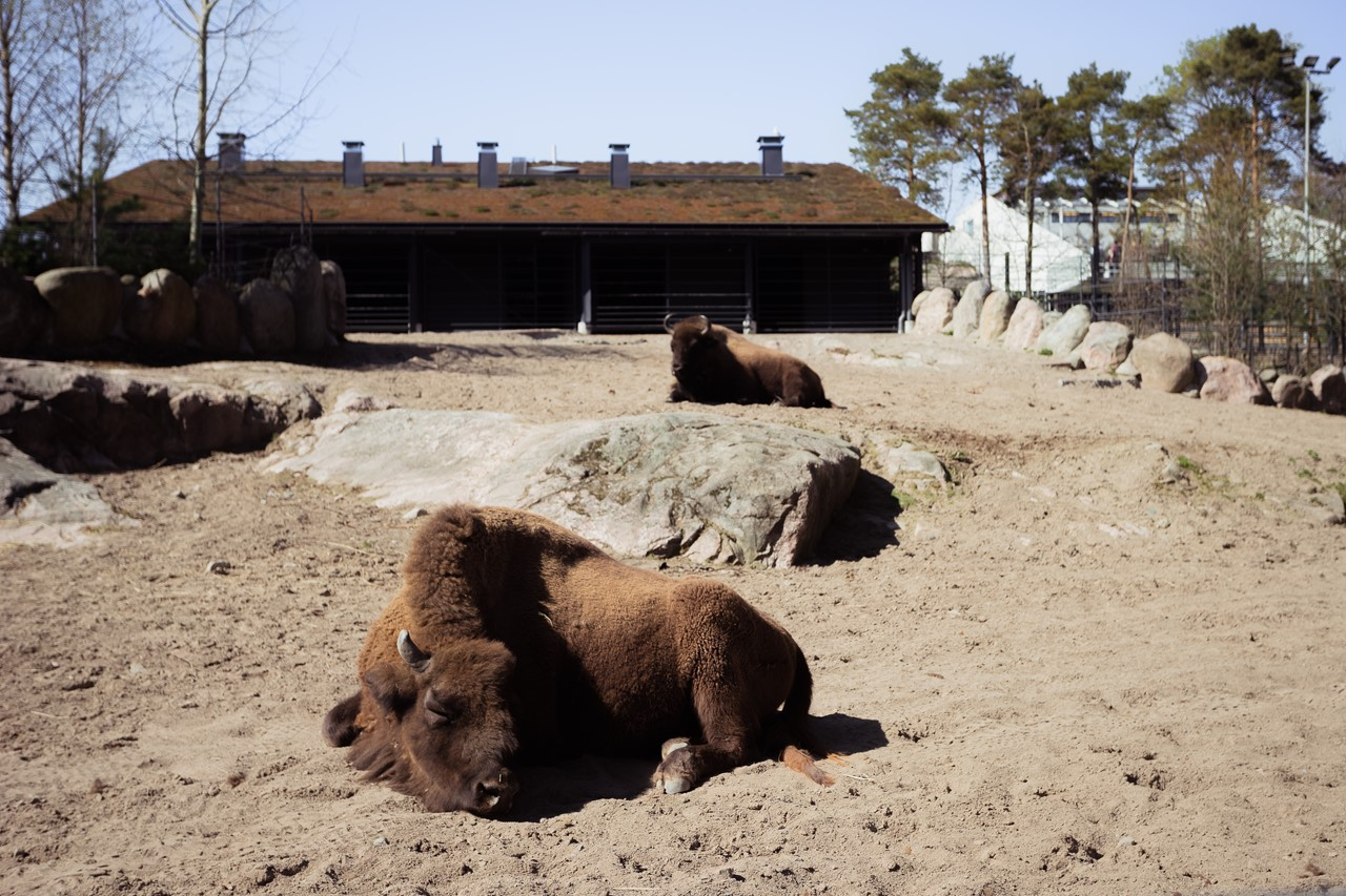 Бизоны зоопарка Хельсинки