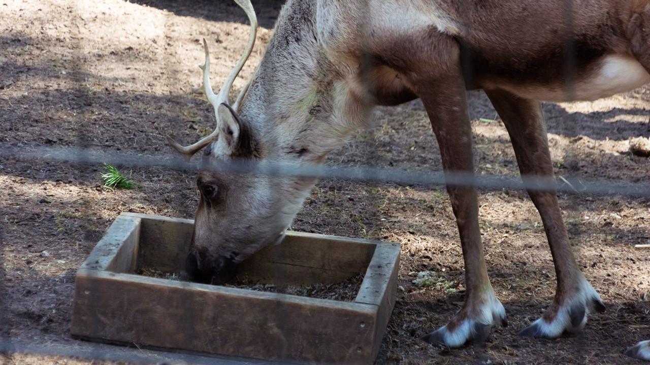 Свеверный олень зоопарка Хельсинки