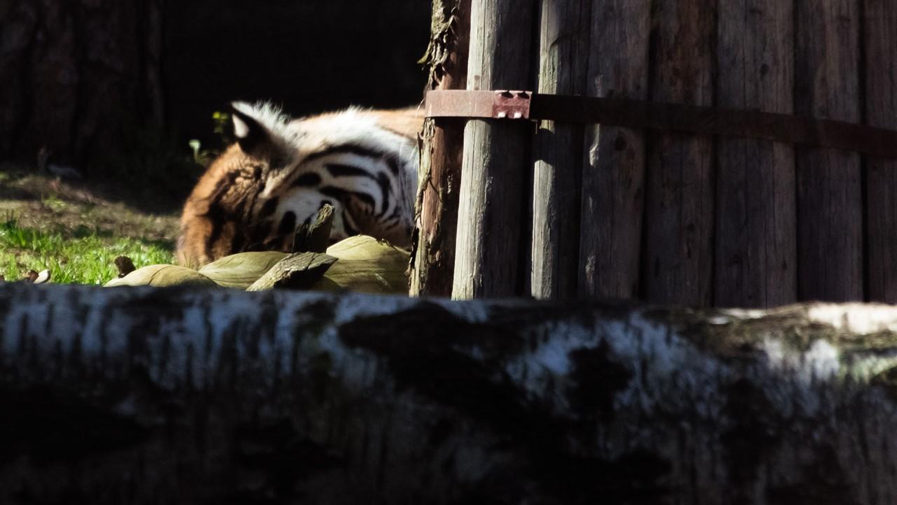 Тигр, скрытый от навязчивых взглядов