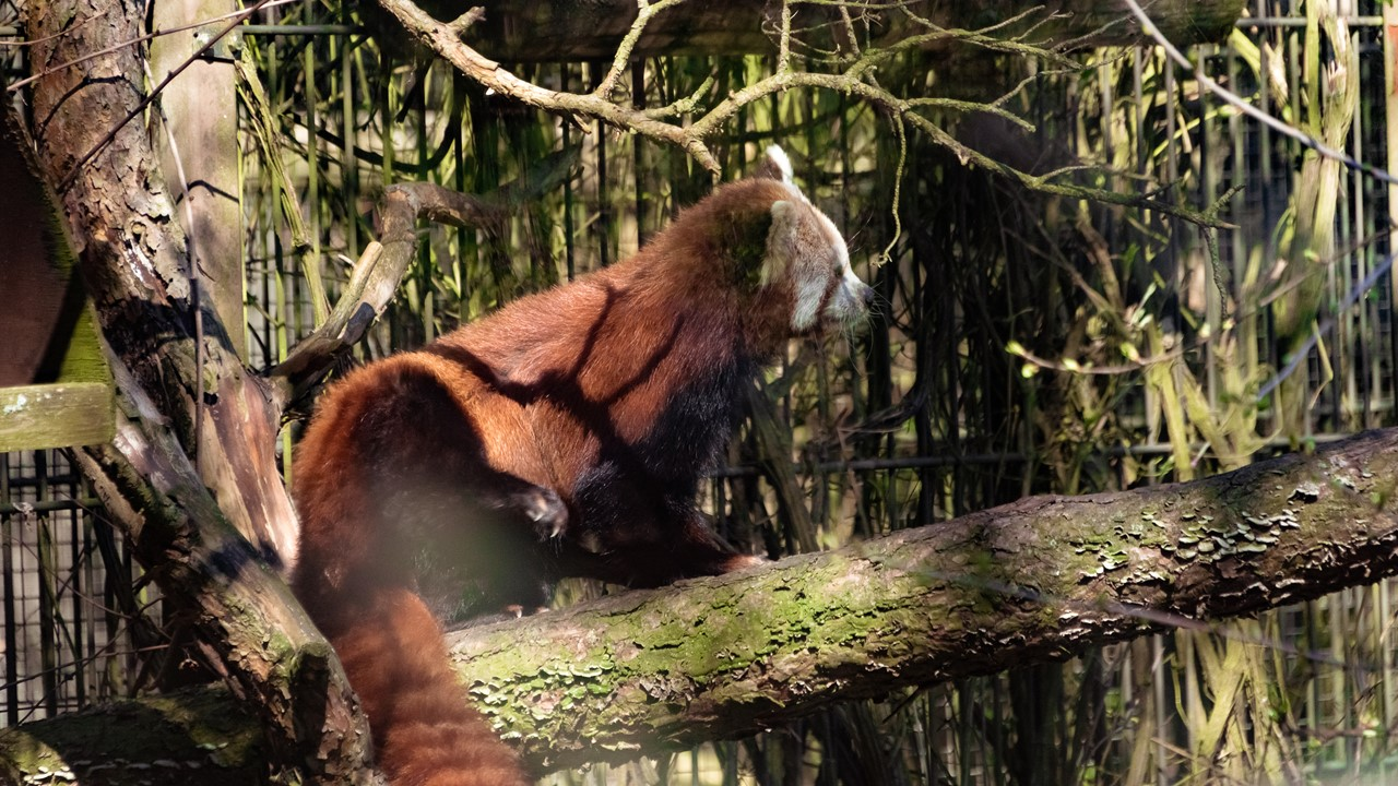 Красная панда зоопарка Хельсинки