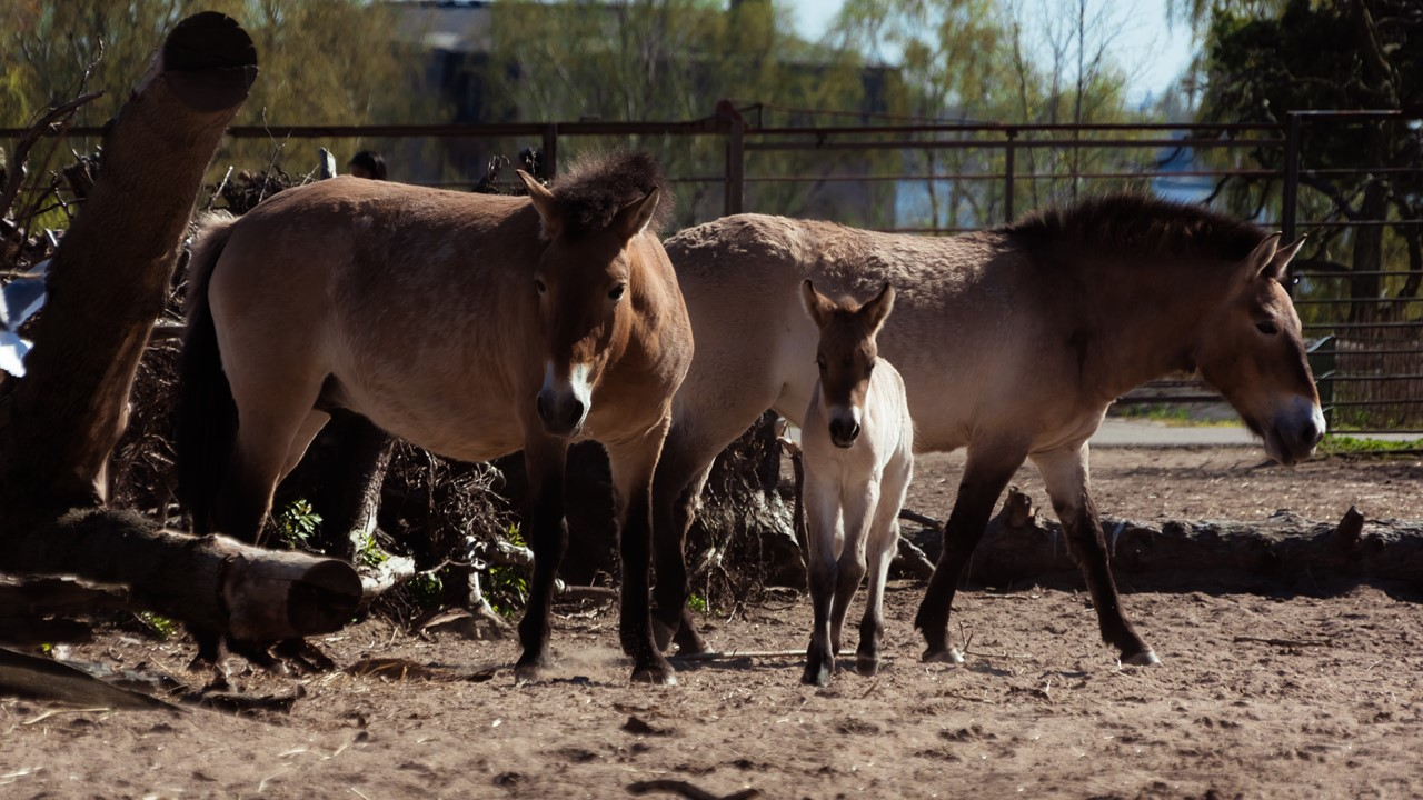 Очень сплоченная семья лошадок в зоопарке Хельсинки