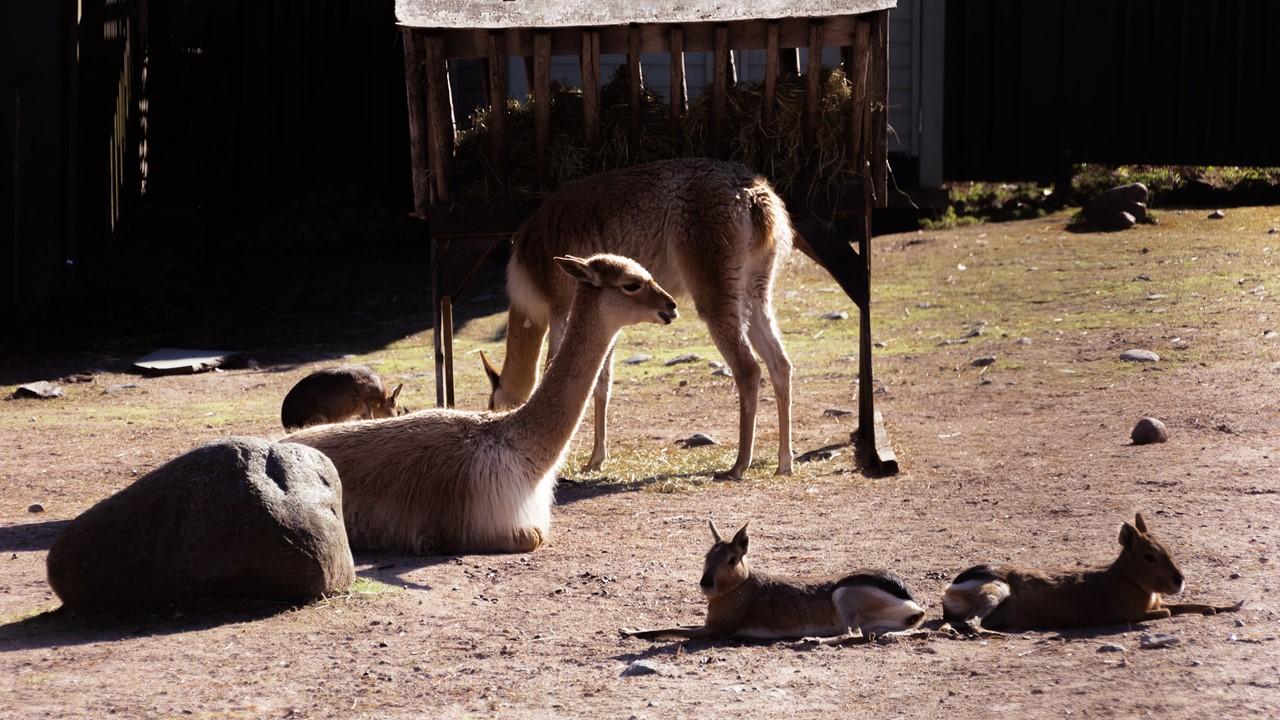 Лама в зоопарке Хельсинки