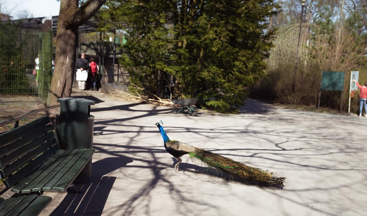 Павлин направляется к вольеру зоопарка Хельсинки