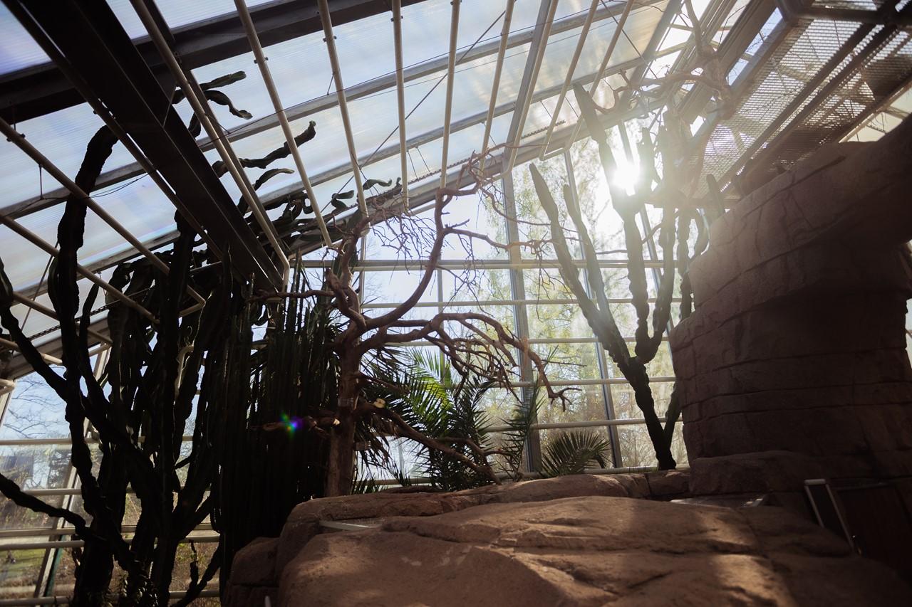 Кактусы в привычной им атмосфере оранжереи
