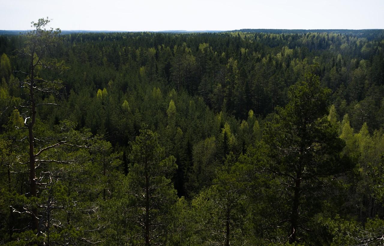 Лесные дали Реповеси