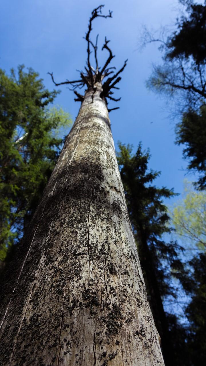 Мертвое дерево Реповеси