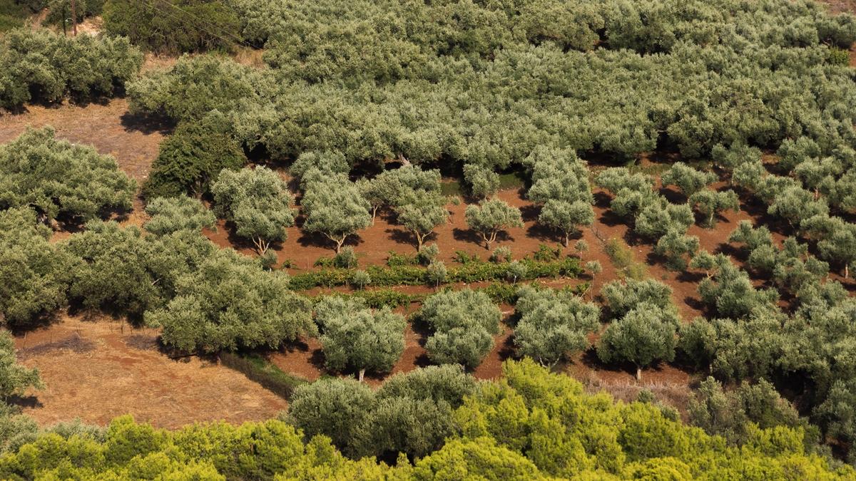 Оливковые деревья Закинфа