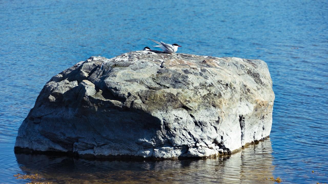Отдых или гнездование на камне