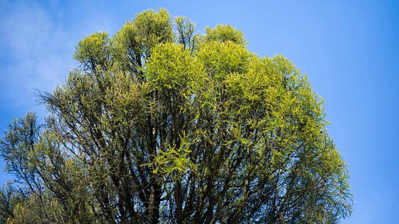 Крона одного из деревьев в зелёном Хельсинки