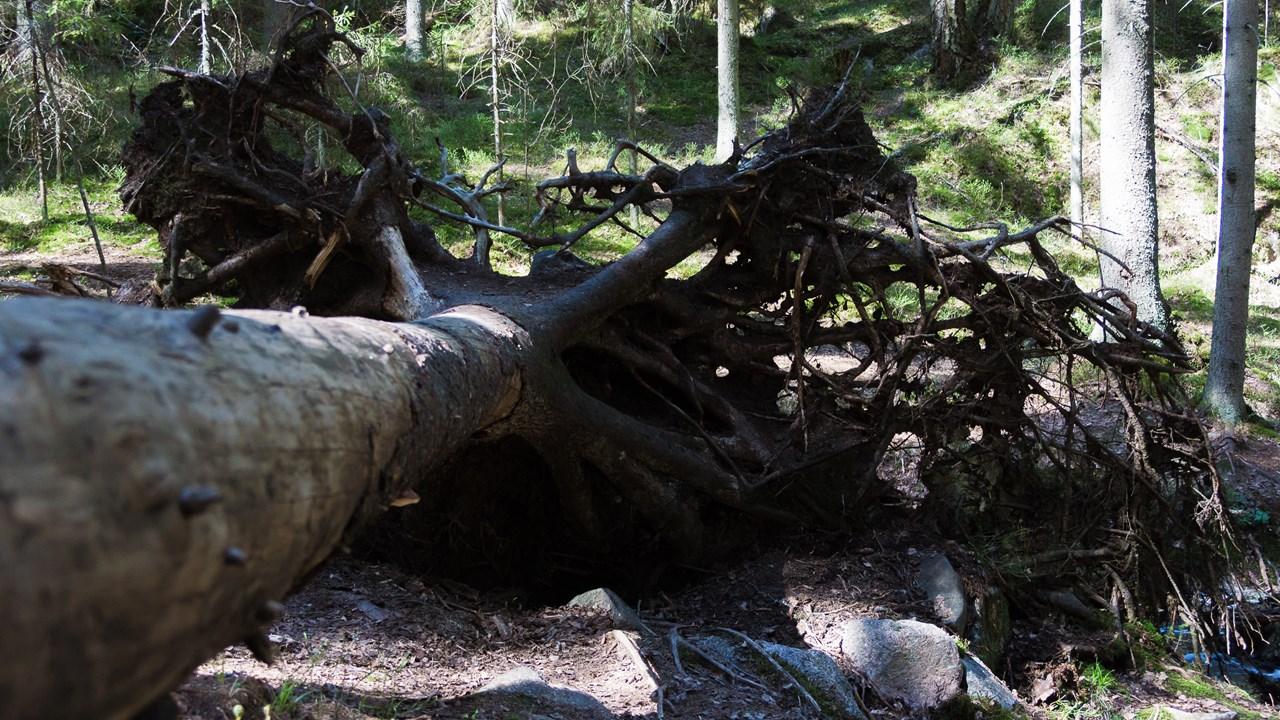 Поваленное с корнями дерево в Нууксио