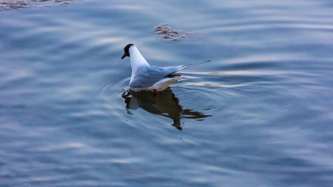 Чайка, выискивающая еду в воде