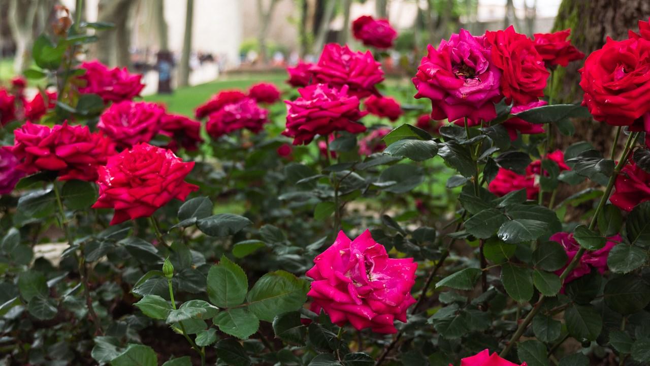 Красивые розы во дворце Топкапы