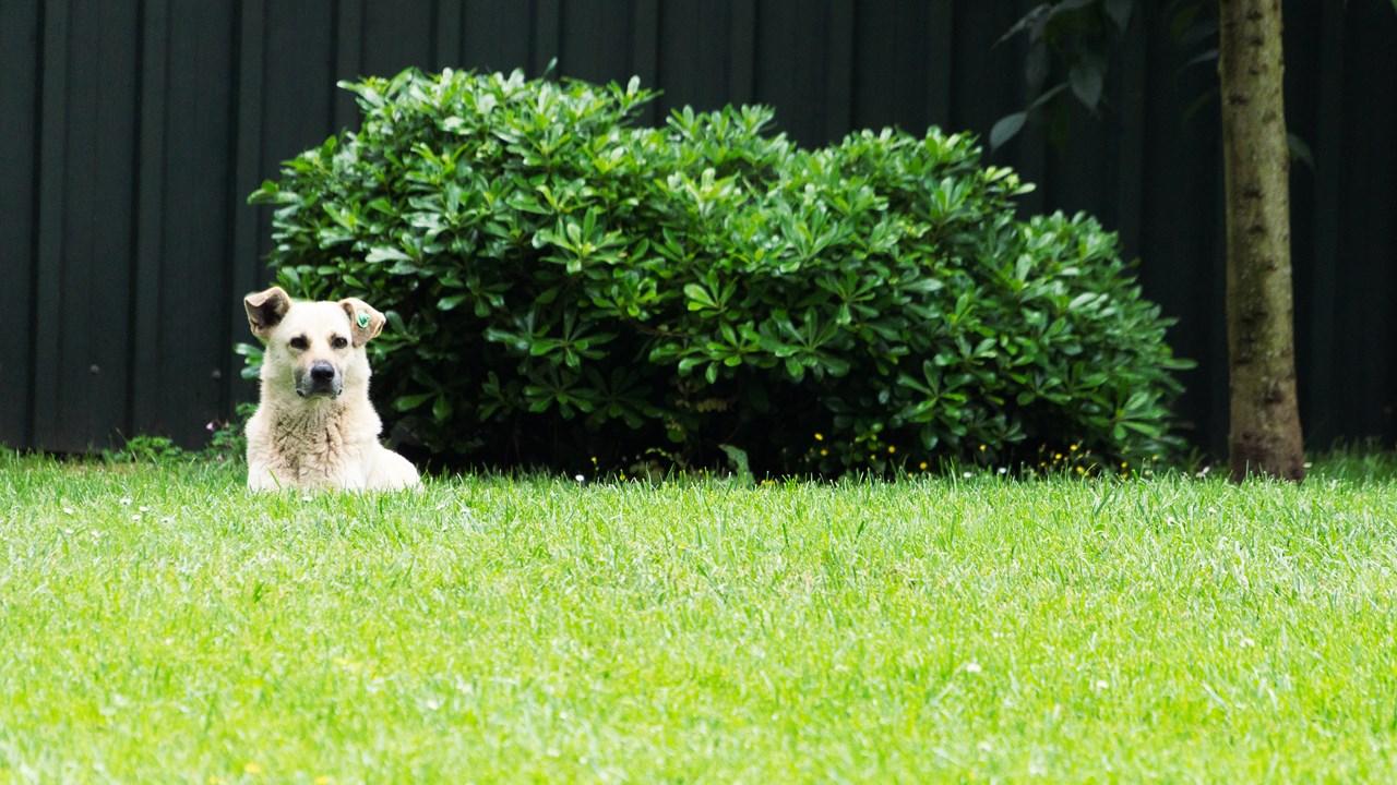 Стамбульская собака отдыхает на газоне
