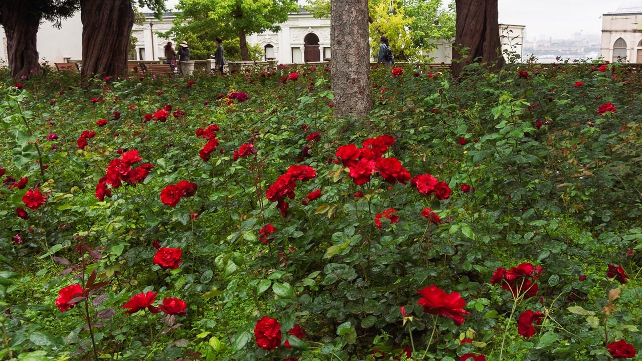 Поле алых цветов в Топкапы
