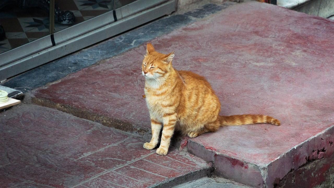 Стамбульская кошечка